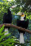 Wreathed Hornbill Birds. A pair of wreathed hornbill birds in a zoo stock image
