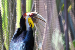 Wreathed hornbill Stock Photography