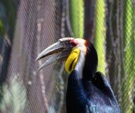 Wreathed hornbill Stock Photos