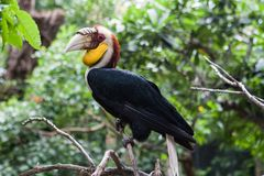 Wreathed hornbill, an exotic bird in Bali bird park. Male wreathed hornbill on the branch. One of the exotic tropical birds in Bali Indonesia bird park in Stock Photos