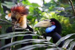 Wreathed Hornbill. Head of male Wreathed Hornbill in side angle view. Bail zoo. Indonesia Stock Images