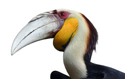 Wreathed hornbill isolated on white. Bar-pouched wreathed hornbill with focus centered on the eye stock photos