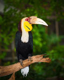 Wreathed Hornbill Royalty Free Stock Photography