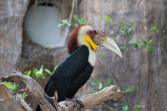 Wreathed hornbill. Male Wreathed hornbill in Thailand Stock Image