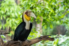 Wreathed hornbill. Male Wreathed hornbill stand on the branch Stock Photography