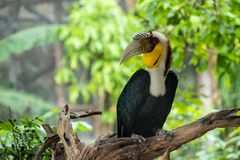 Wreathed hornbill. Male Wreathed hornbill stand on the branch Royalty Free Stock Photo