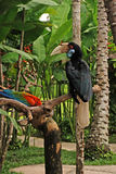 Wreathed hornbill in rainforest Royalty Free Stock Image