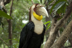 Wreathed hornbill. The wreathed hornbill (Rhyticeros undulatus), also known as the bar-pouched wreathed hornbill, is a species of hornbill found in forests from Royalty Free Stock Photography