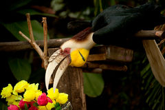 Wreathed hornbill Rhyticeros undulatus or the bar-pouched wreathed hornbill. Royalty Free Stock Photos