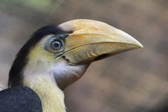 Wreathed hornbill, Rhyticeros undulatus. Close up wreathed hornbill in tree Royalty Free Stock Photos