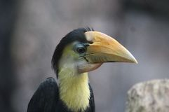 Wreathed hornbill, Rhyticeros undulatus. Close up wreathed hornbill in tree Stock Photo