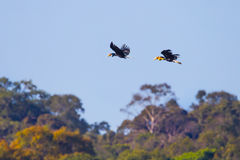 Wreathed hornbill(Rhyticeros undulatus) Royalty Free Stock Photo