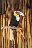 Wreathed hornbill - Rhyticeros undulatus. In zoo, close up Royalty Free Stock Images