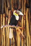 Wreathed hornbill - Rhyticeros undulatus Royalty Free Stock Images