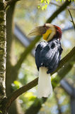 Wreathed Hornbill Stock Image