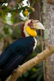 Wreathed Hornbill. Sitting on a tree in Bali Bird park, Indonesia Stock Images