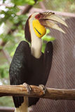 Wreathed Hornbill stand on the branch Royalty Free Stock Image