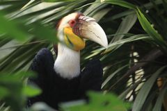 Wreathed hornbill. On the tree Royalty Free Stock Image