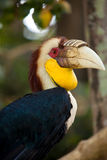 Wreathed Hornbill. On a tree in Bali Bird park, Indonesia Royalty Free Stock Image