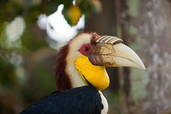 Wreathed Hornbill. On a tree in Bali Bird park, Indonesia Royalty Free Stock Photos
