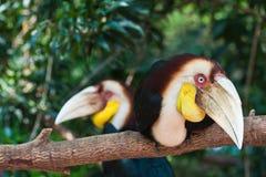 wreathed hornbill två Arkivbilder