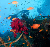 Wreck and divers. Bow side of the wreck with soft coral, fish and divers stock photo