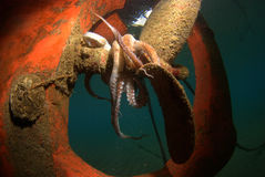 Wreck. Octopus camouflaged on a propeller of a shipwreck stock photo