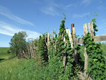 Wrecked fence and wild wine. Wild vine at the old wercked fence Stock Photos