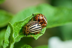 Wreckers of potato - Colorado bugs breed on leaves Royalty Free Stock Photos