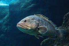 Wreckfish, perche en pierre, la vie sous-marine Photographie stock
