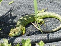 Wreed dier, gekko op de zon royalty-vrije stock foto