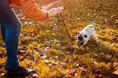 Wreed gedrag met dieren Hoofd het lopen pug hond in de herfstpark Puppy het bijten leiband die weigeren te gaan stock foto
