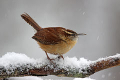 Wren στο χιόνι Στοκ Φωτογραφίες