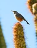 wren кактуса Стоковое Фото