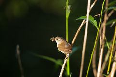 A  wren. A wren is perched on reeds with a beak full of insects Stock Photo