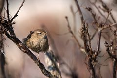 The wren. The wren sits on a branch and with watchfulness looks Royalty Free Stock Image