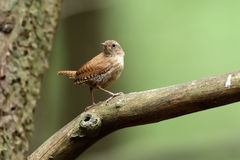 Wren Stock Photo