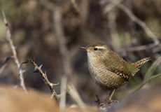 Wren. A wren perching on a piece of rock stock image