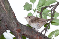 Wren in a Apple Tree Royalty Free Stock Photo
