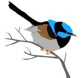 Wren azul Imagen de archivo
