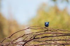 Wren azul de hadas espléndido Foto de archivo