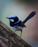 Wren azul masculino que se encarama Foto de archivo libre de regalías
