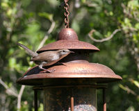 Wren on a bird feeder. Wrens eat primarily insects and fruits; this wren was possibly checking out a bird feeder to see if he could find a bug to eat Royalty Free Stock Photo