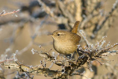 Wren on Branch / Troglodytes troglodytes Stock Images