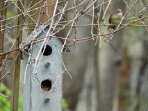 House wren building nest in nestbox royalty free stock photography