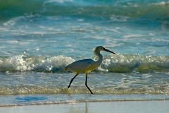 Shell Island, Florida catching fish bird wren catch. Wren catching fish, feeding water skimming dive bird watertop bait glide waves breakers shore royalty free stock photos