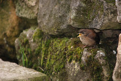 A wren chick just out of the nest Royalty Free Stock Photography