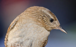 Wren Stock Photography