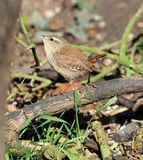 Wren Royalty Free Stock Photography