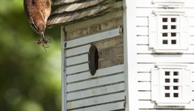 Wren Dinnertime. A parent wren is delivering a spider meal to the growing family in the birdhouse Stock Photos